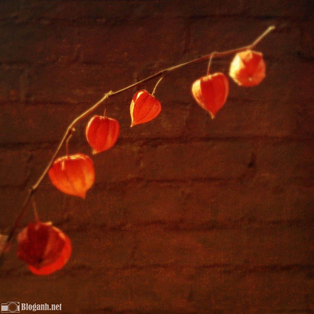 hoa, bức tường đỏ
